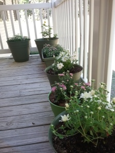 Pots of purple and white posies