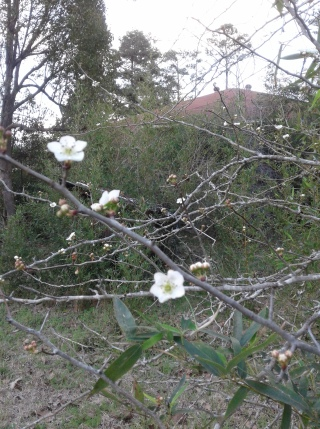 Milky white mayhaw blooms